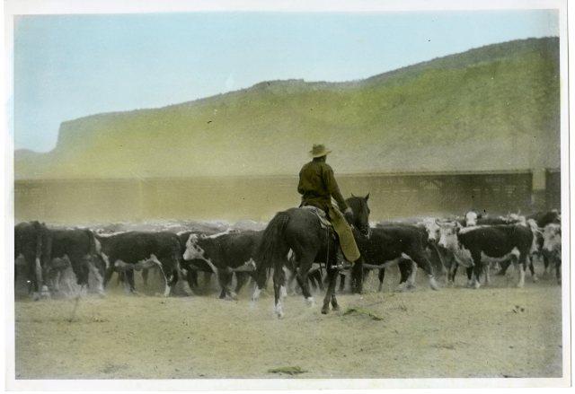 herd-of-beef